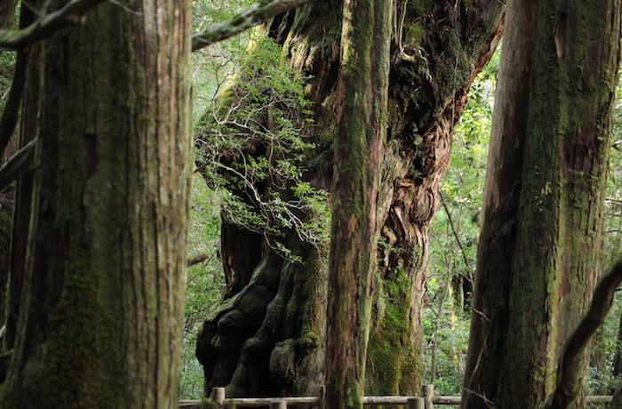 屋久島トレッキング!巨木に出会えるヤクスギランド♪-1日コース-(No.25)
